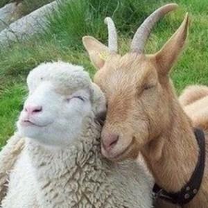 овечка и козочка подружки